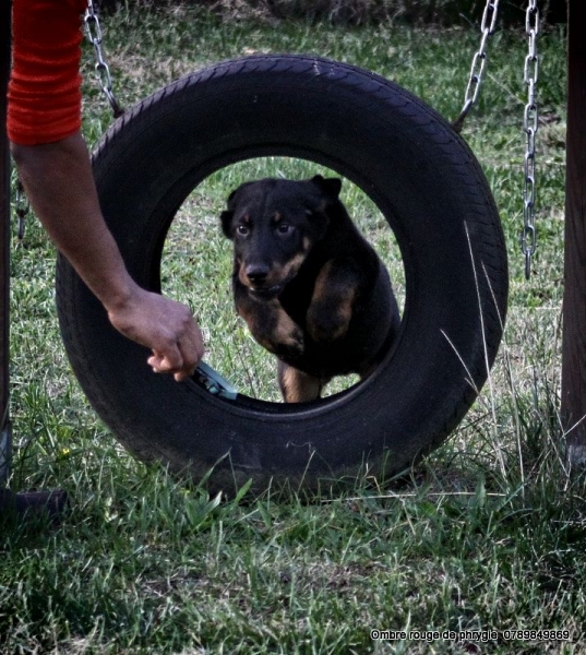 chiot beauceron male